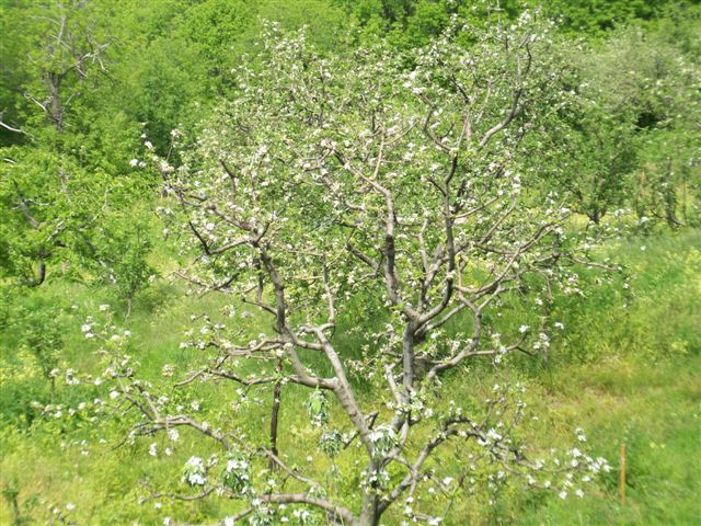 Apple grove in the forest plot with panoramic sea views, Mouresi - Property Greece Real Estate