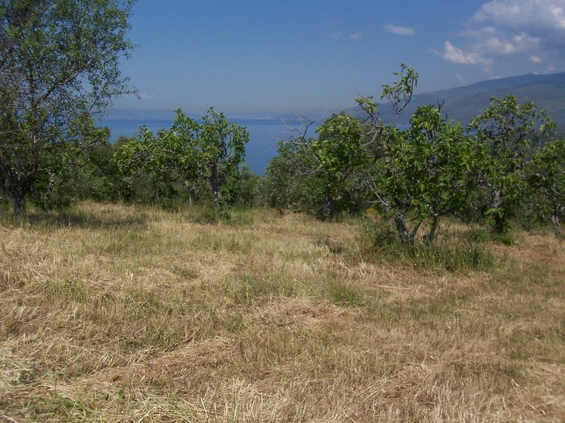 Buildable olive grove near in Lefokastro with sea and mountain view