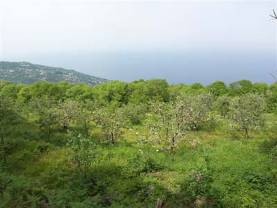 Apple grove in the forest plot with panoramic sea views, Mouresi
