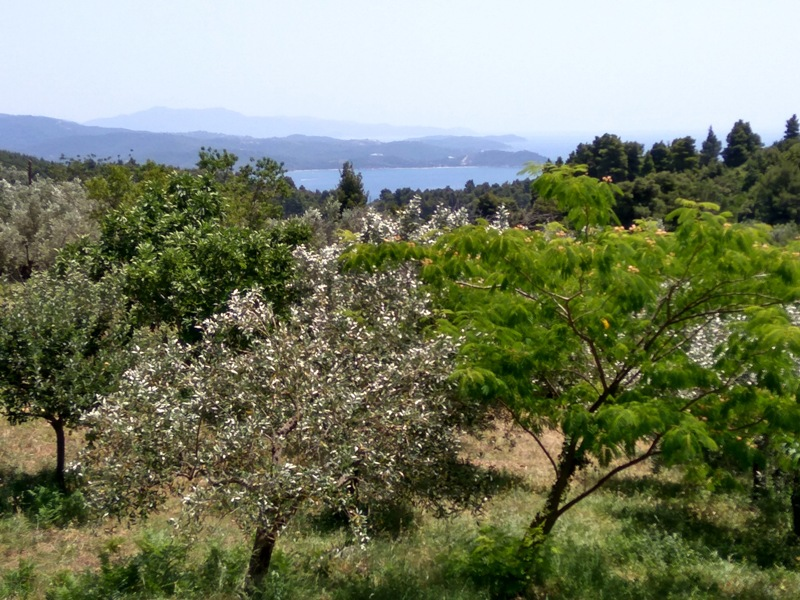 Olive grove with sea view in Aegean